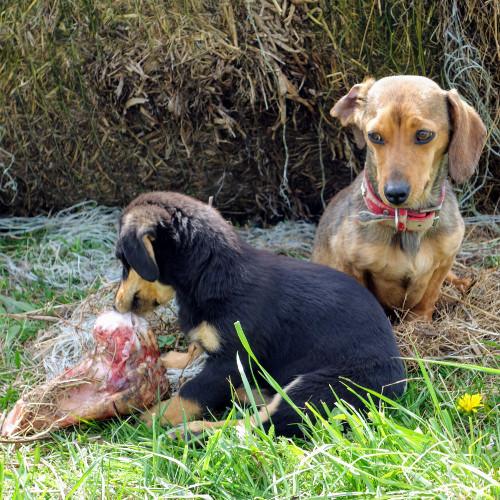 Rohfütterung - wirklich das Beste für den Hund?